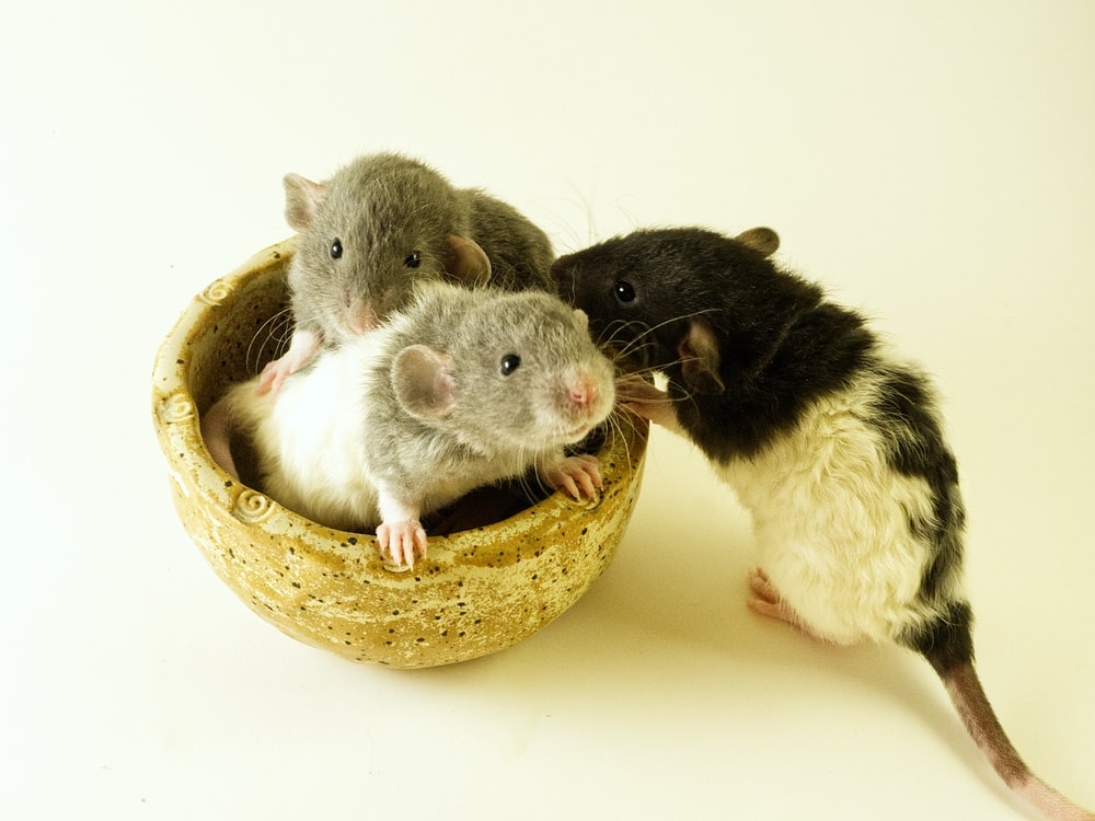 white and black guinea pig on brown round bowl