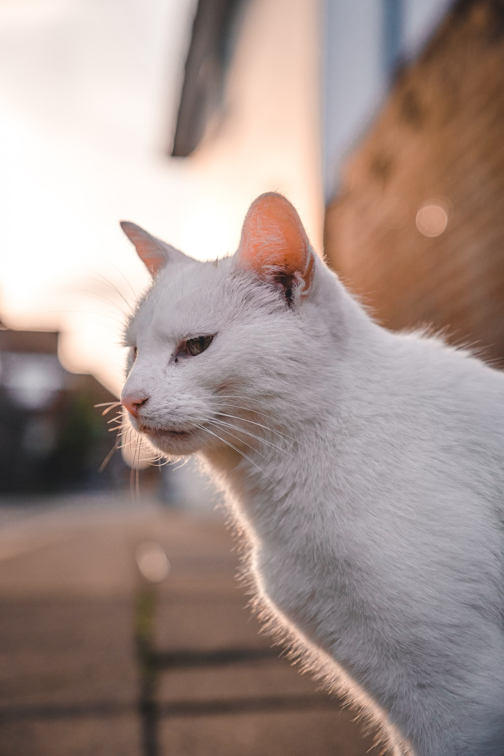 white cat on brown wooden table