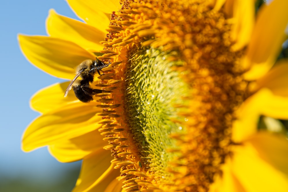 black and yellow bee on sunflower
