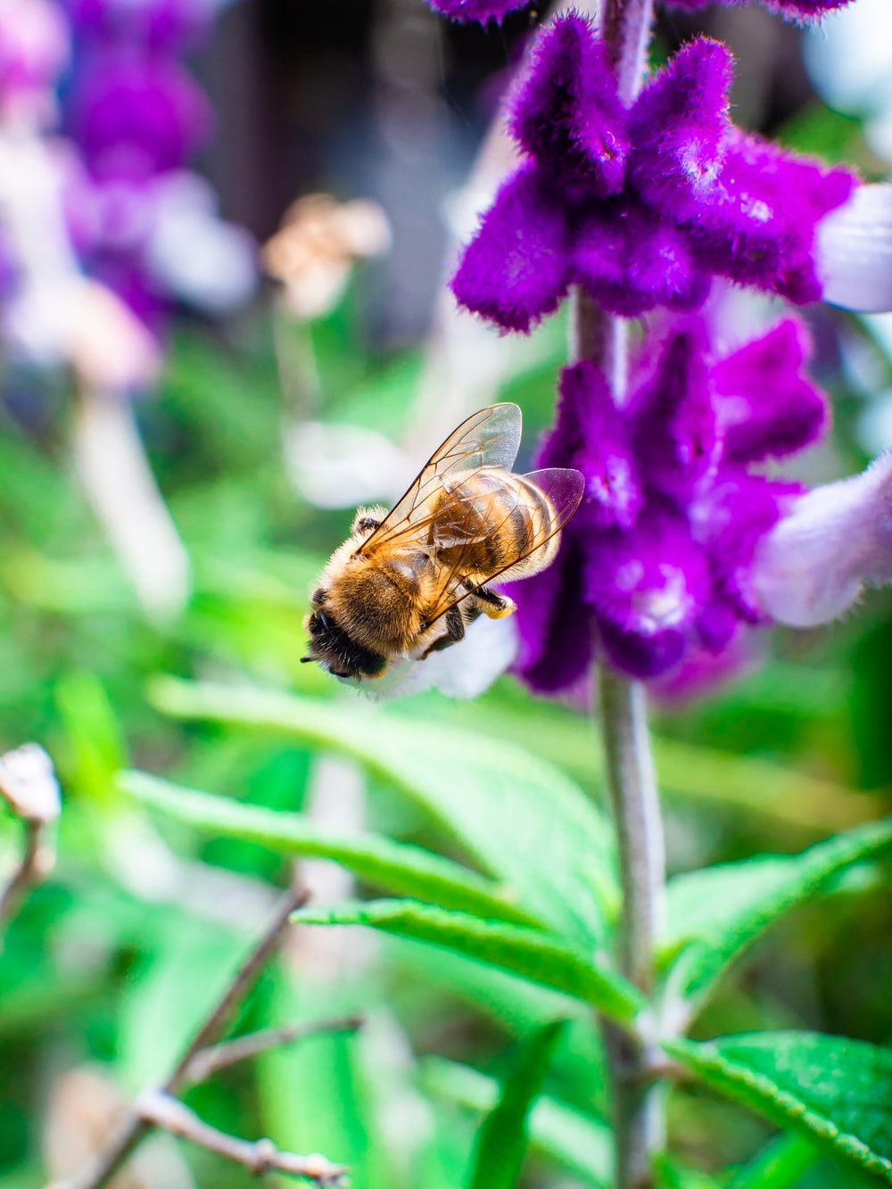 brown and black bee on purple flower
