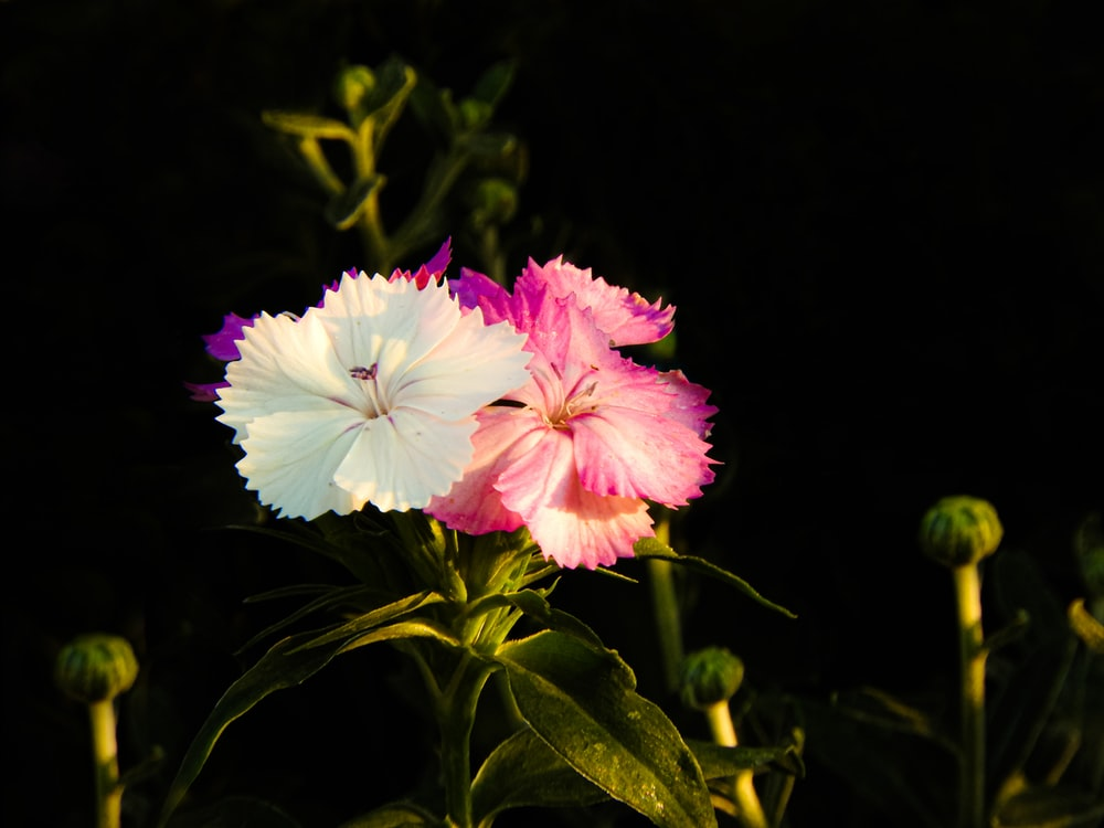 white and pink flower with green leaves