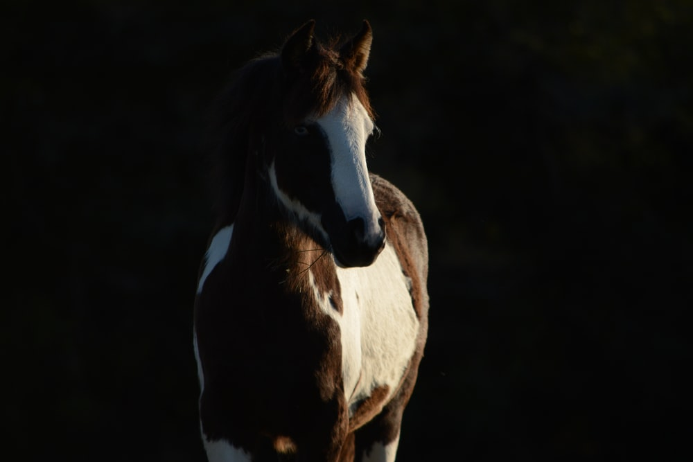 brown and white horse in black background