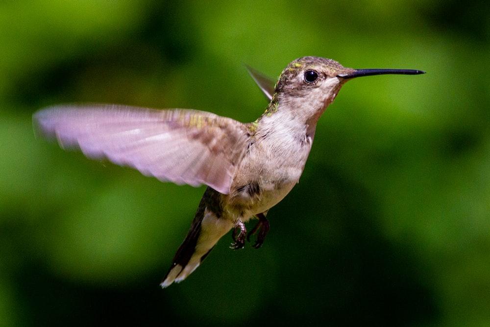 brown and white humming bird
