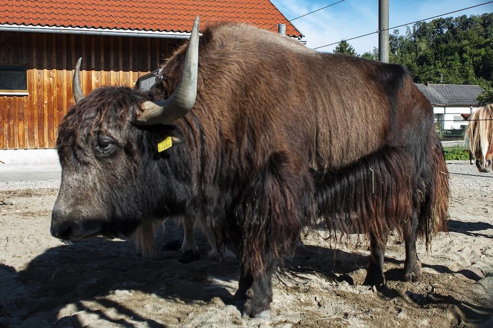 brown yak on brown soil