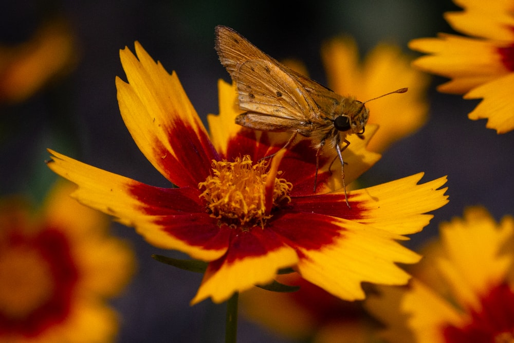 brown moth on yellow and red flower