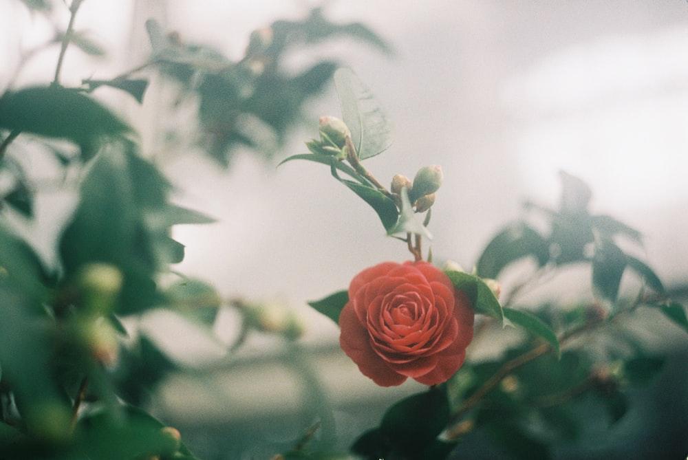 pink rose in bloom during daytime