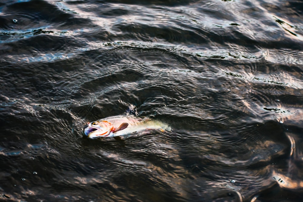 white and red fish on water
