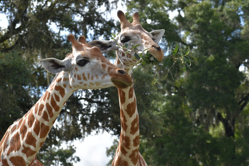 brown giraffe in close up photography