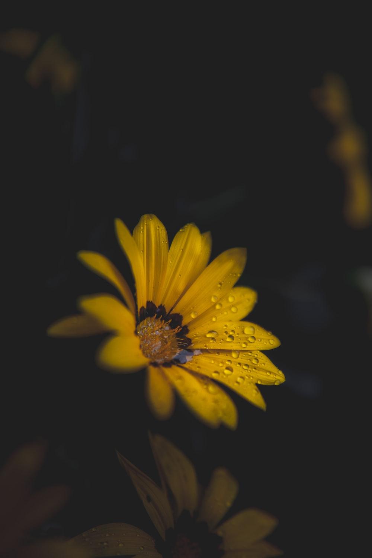 Yellow Flower In Black Background Photo Free Plant Image On Unsplash