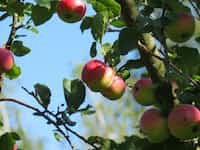 Apple Trees poetry stories