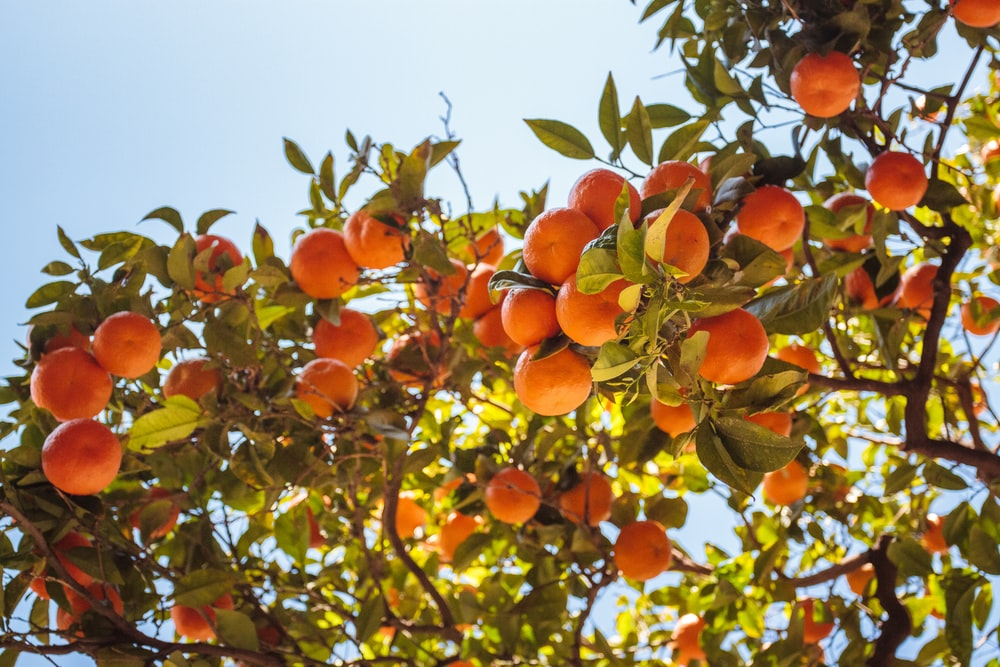 orange fruit tree under blue sky during daytime
