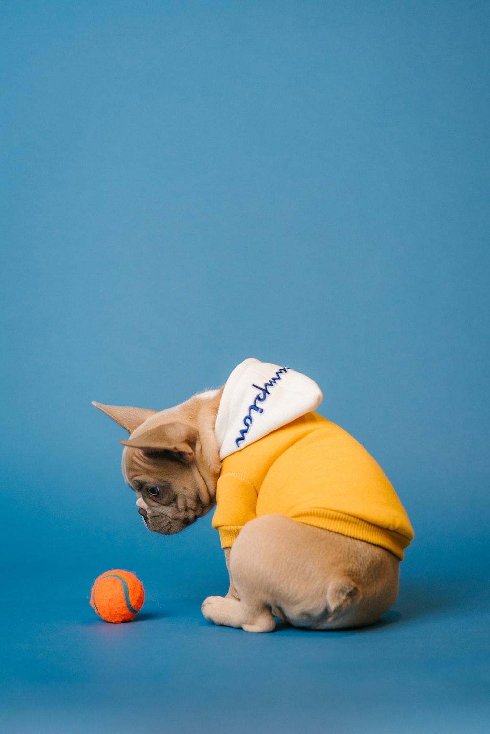 fawn pug wearing yellow hat