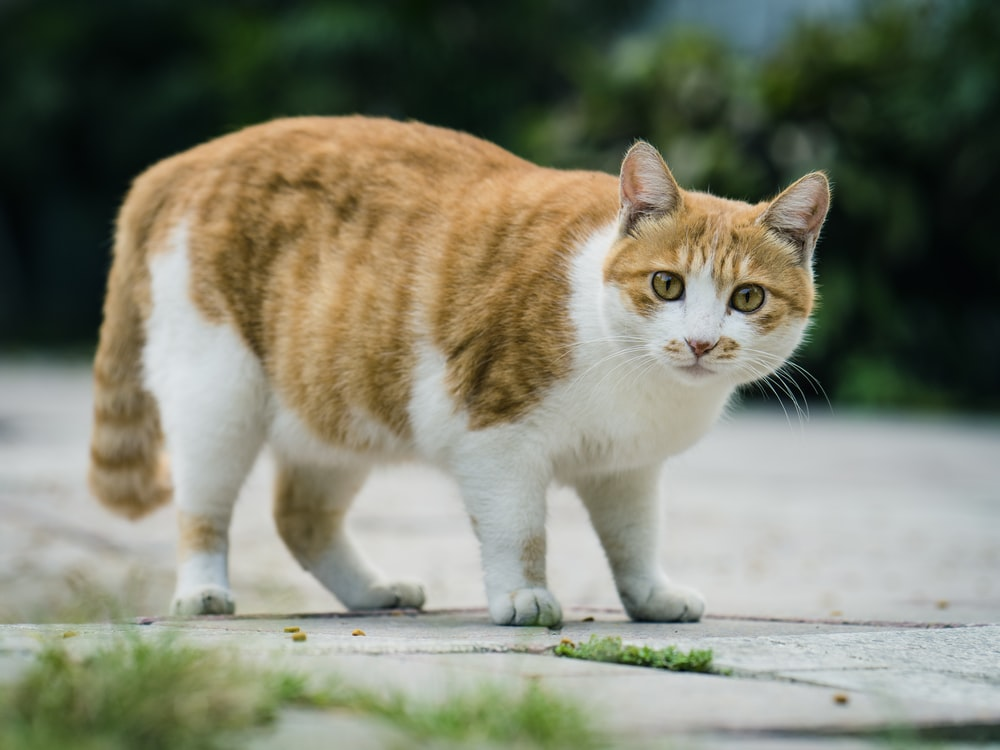 orange and white cat on gray concrete surface