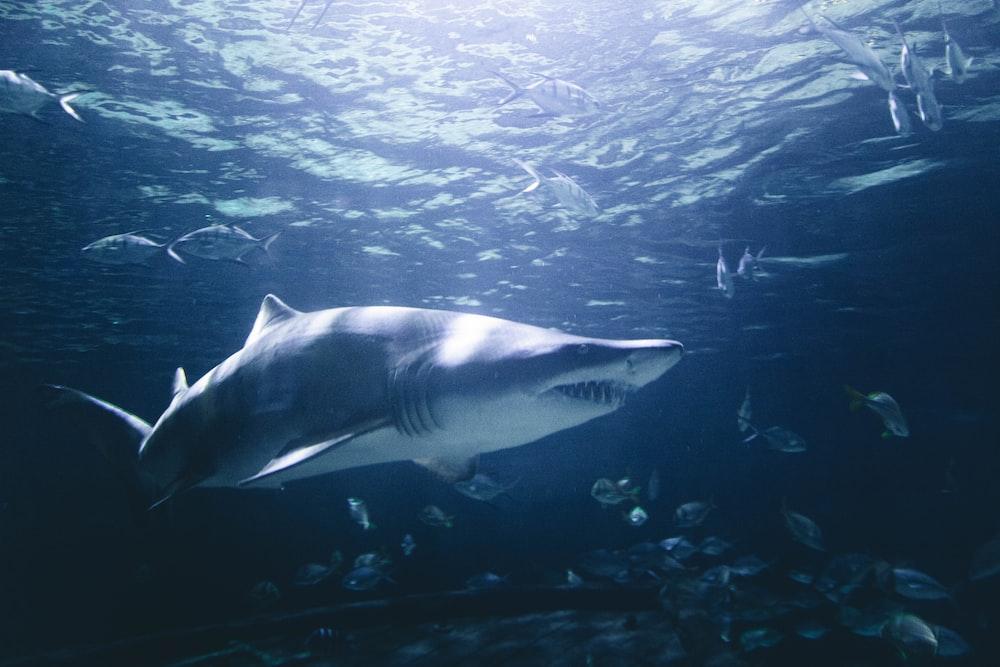 grey and white shark underwater