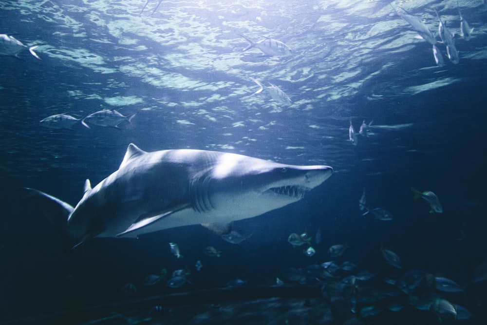 grey and white shark underwater