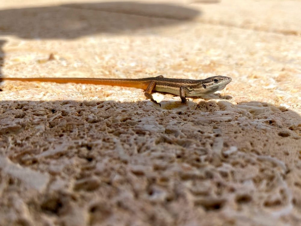 brown lizard on brown sand during daytime