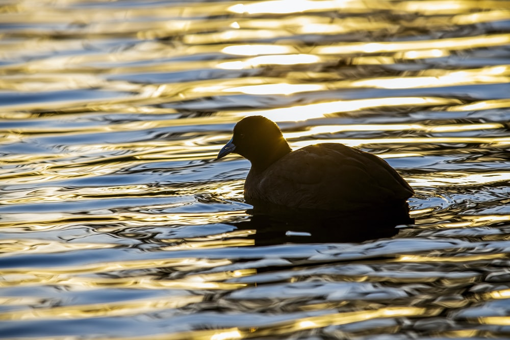 black duck on water during daytime