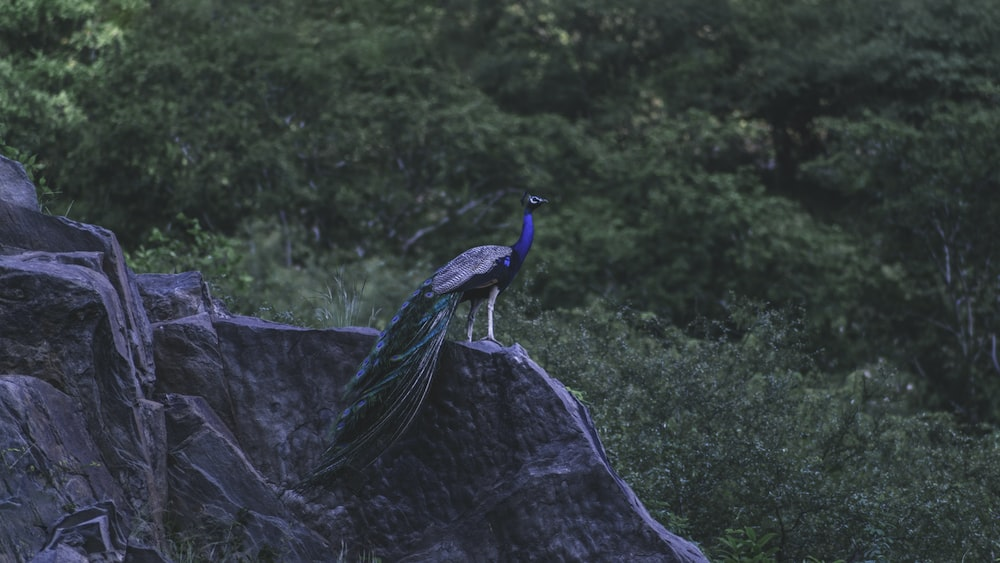 blue peacock on brown tree branch