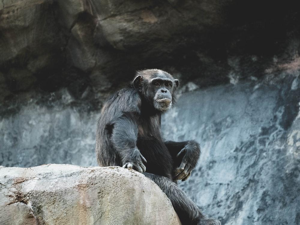 black monkey on gray rock