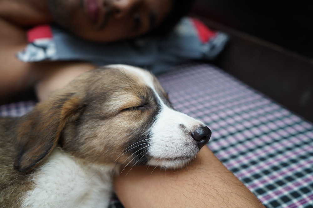 person holding white and brown short coated dog