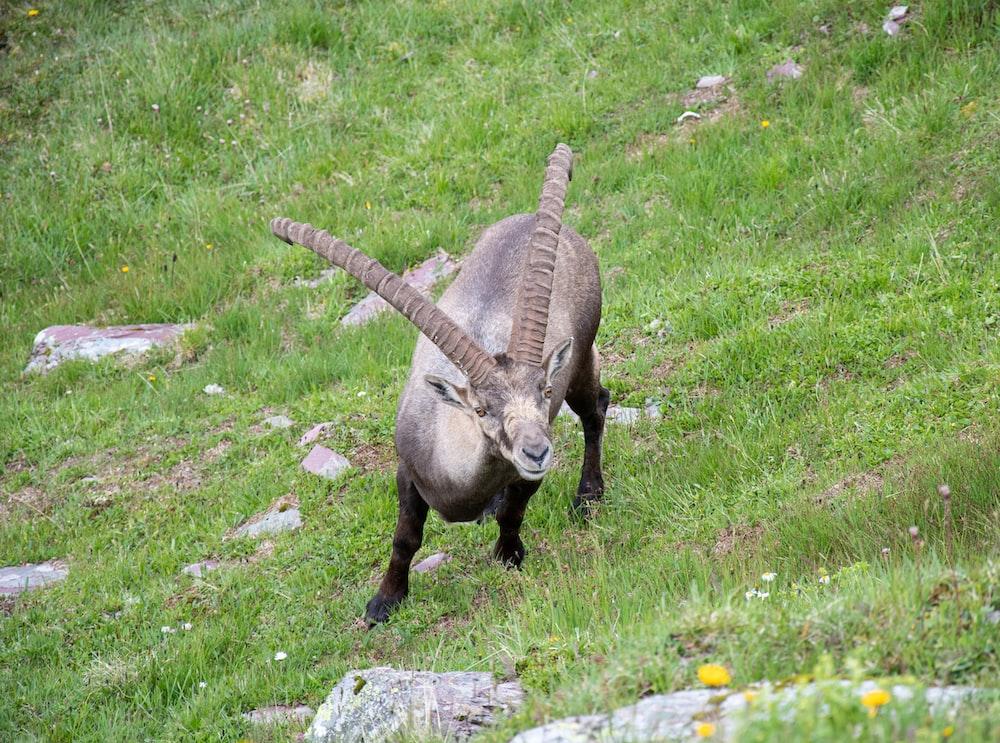 brown ram on green grass field during daytime