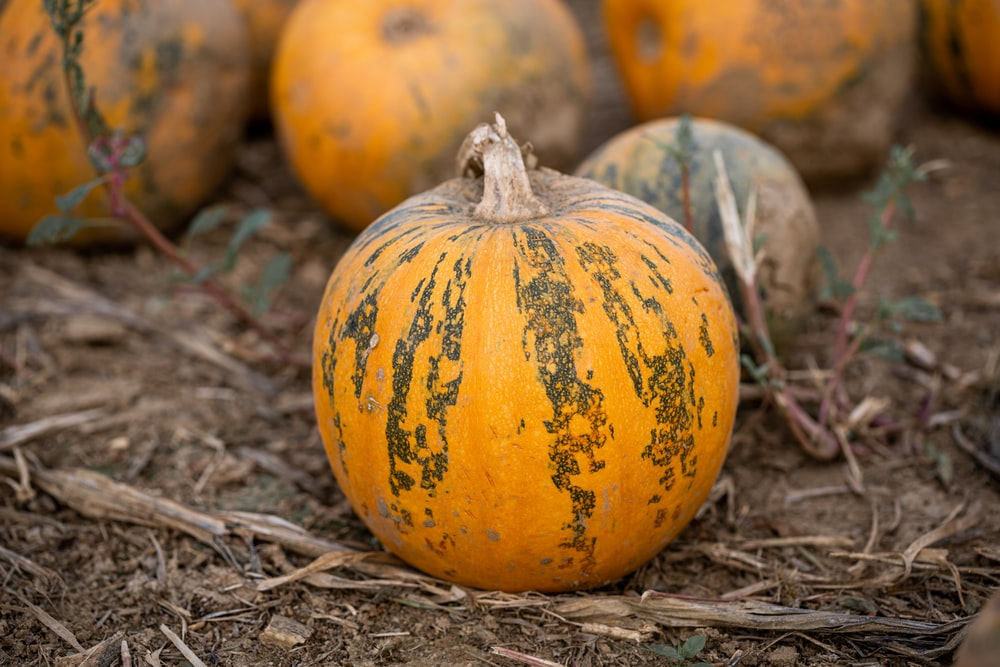 orange and green pumpkins on brown dried leaves