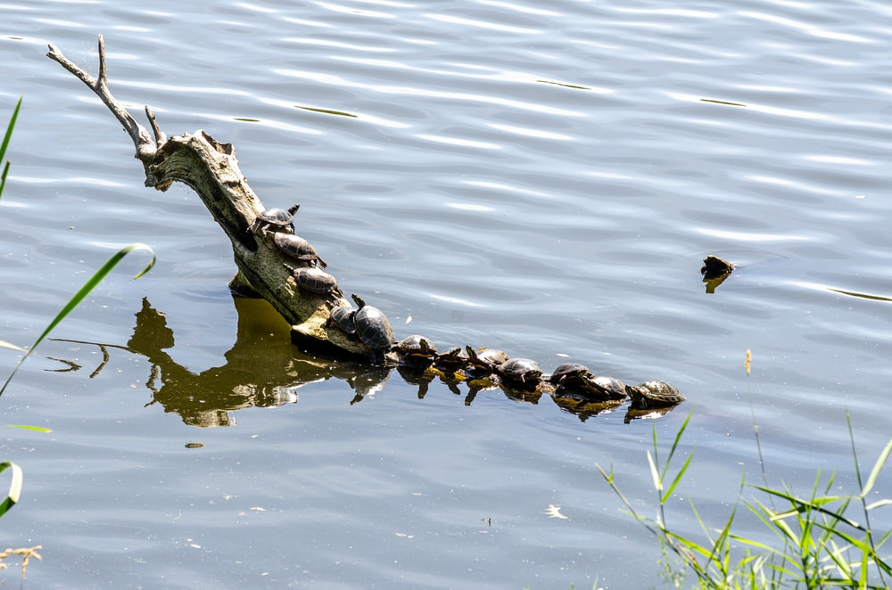 brown and black crocodile on body of water during daytime