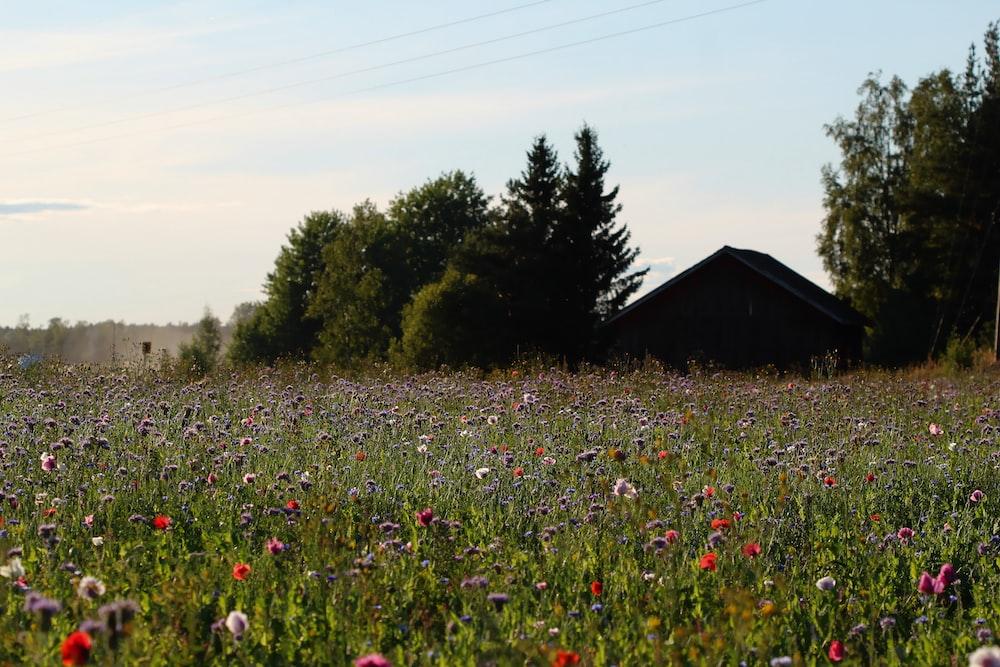 purple flower field near house during daytime