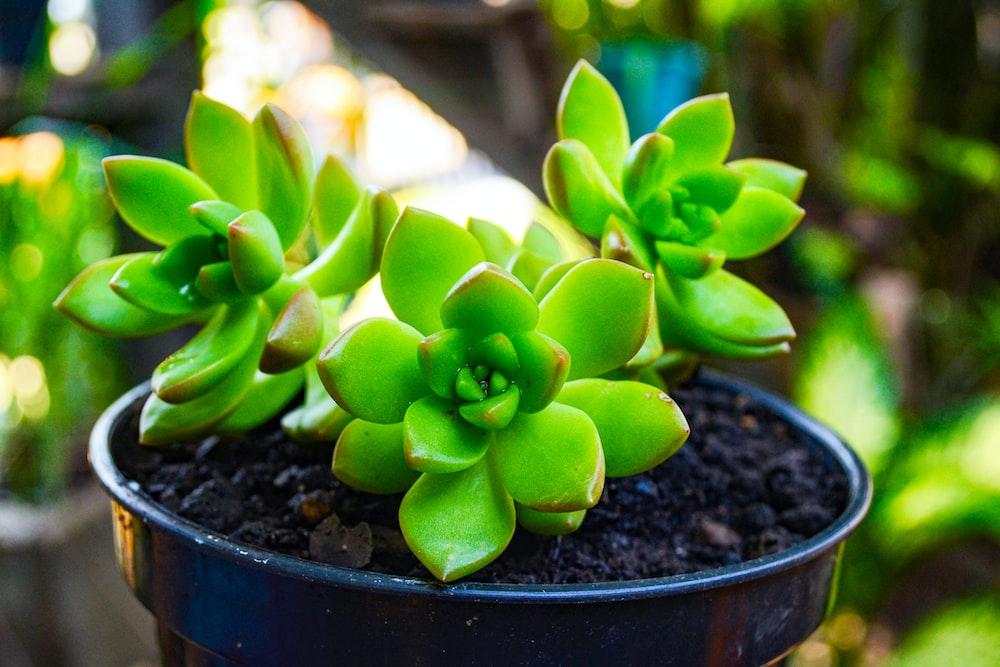 green succulent plant in black pot