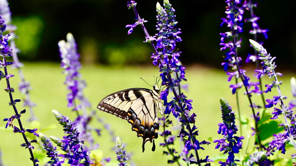 tiger swallowtail butterfly perched on purple flower during daytime
