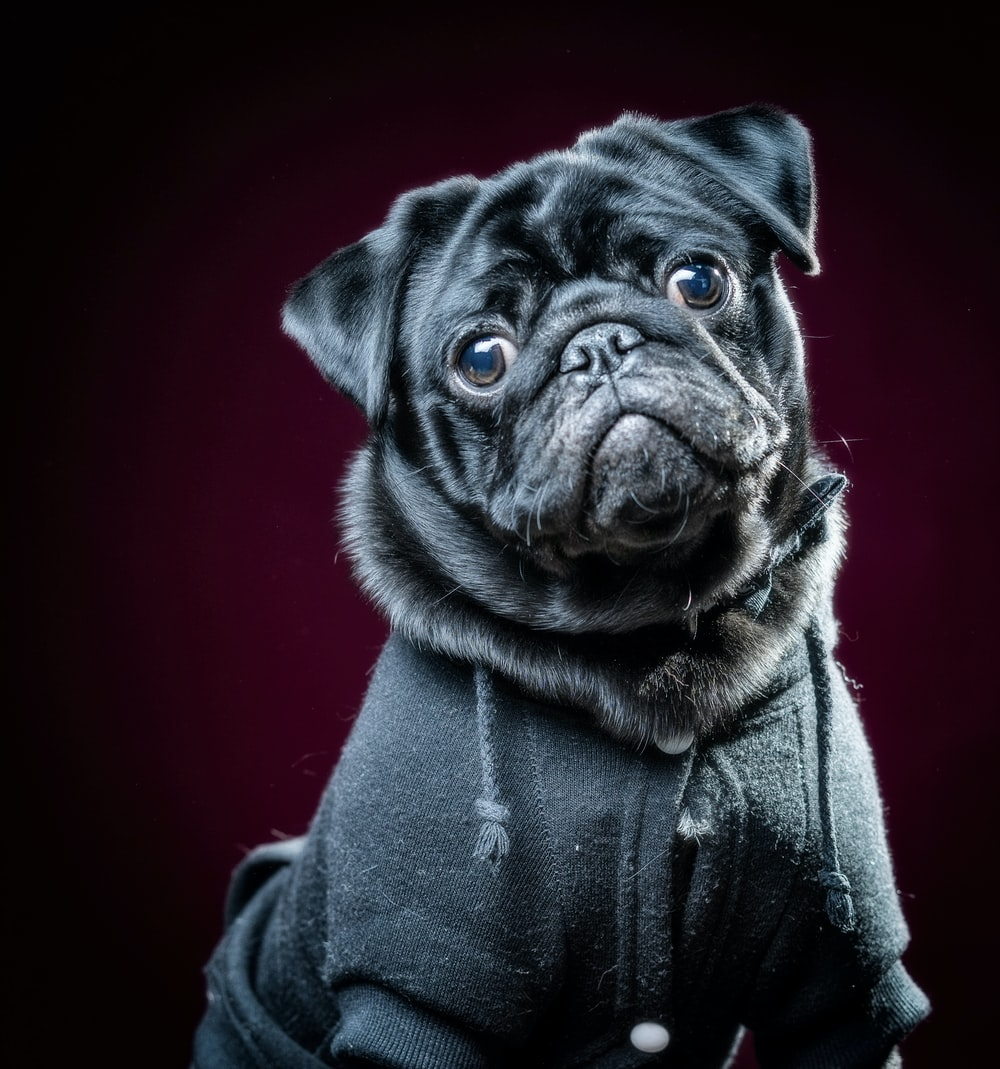 black pug in gray coat