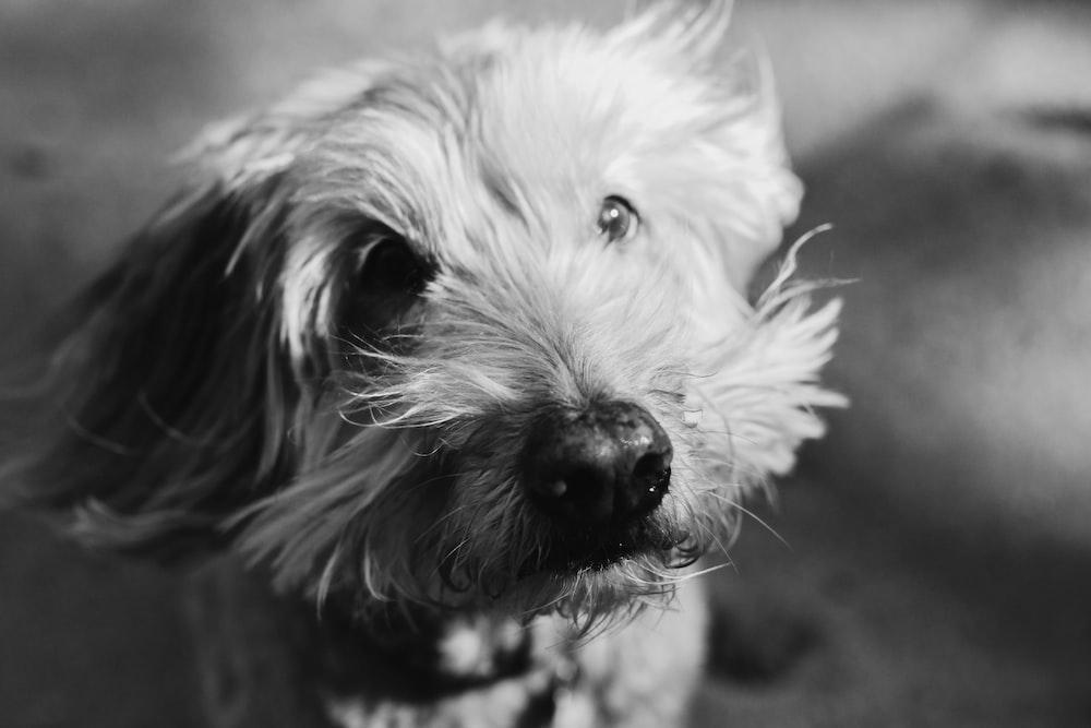 grayscale photo of long coated dog