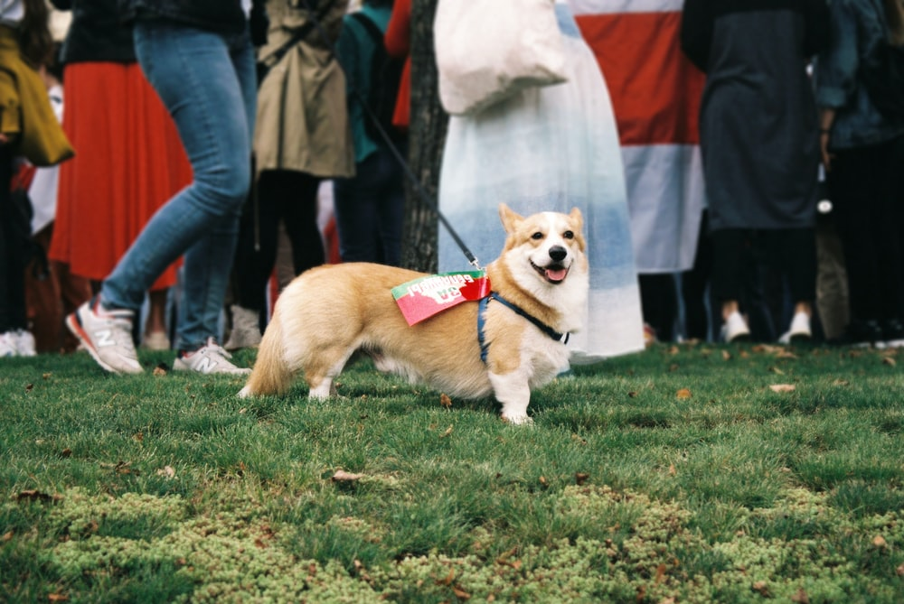 brown and white corgi dog on green grass field during daytime