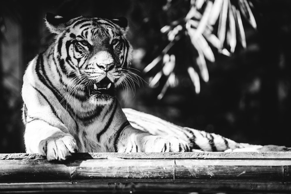 grayscale photo of tiger lying on floor