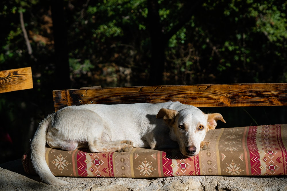 white short coated dog on brown wooden bench