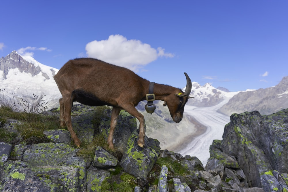brown cow on rocky mountain during daytime