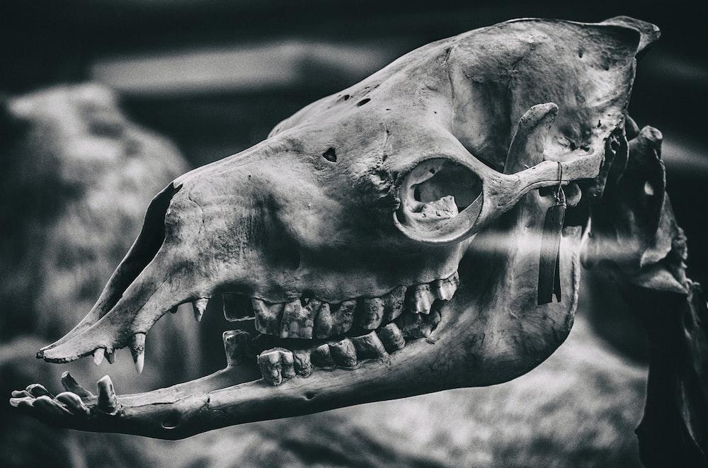 grayscale photo of animal skull