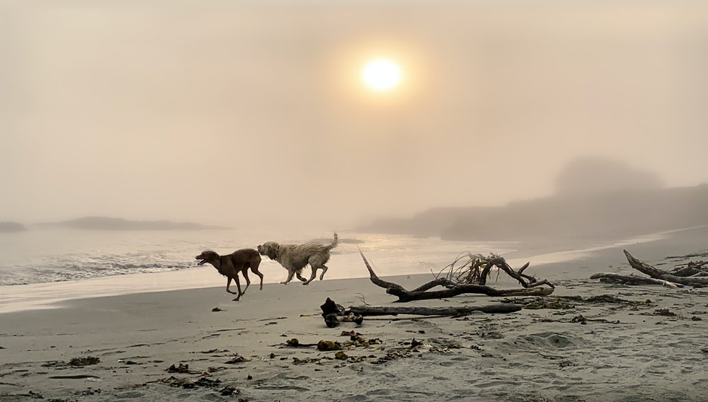 dogs running on beach during sunset
