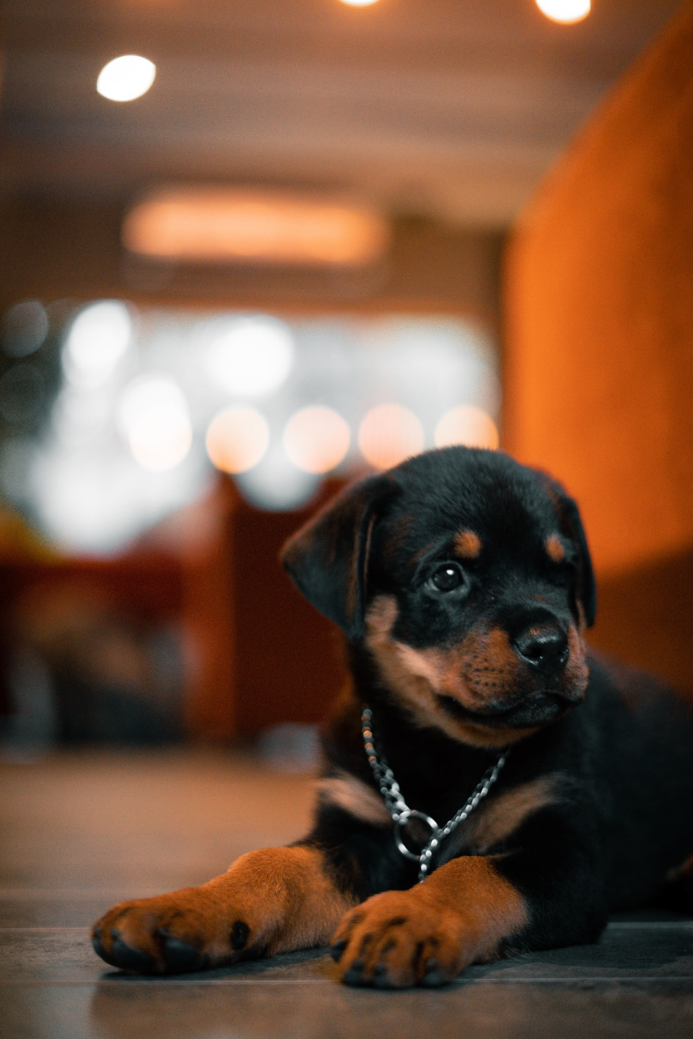 black and tan rottweiler puppy