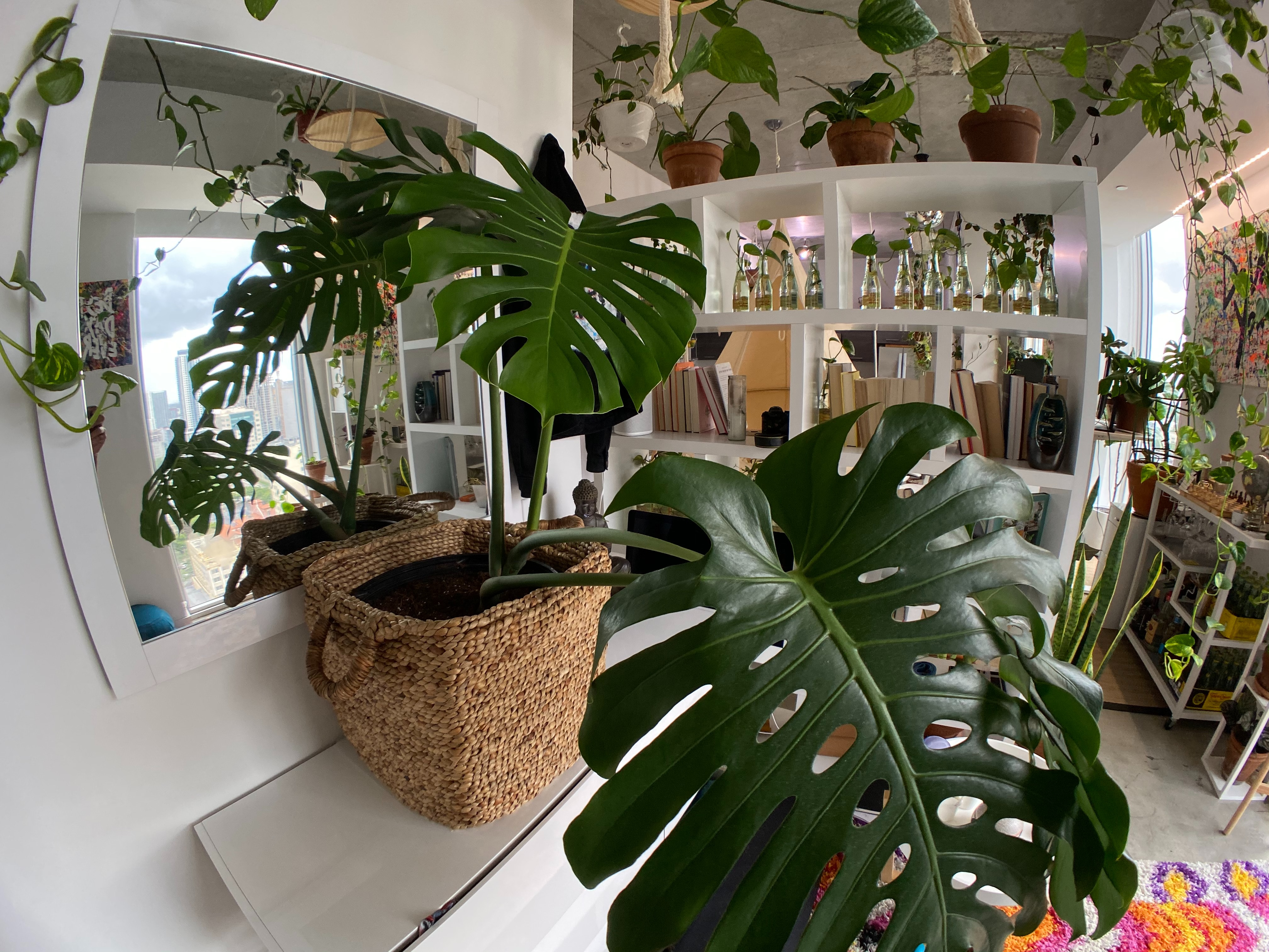 A gorgeous monstera deliciosa indoor plant within an urban jungle.