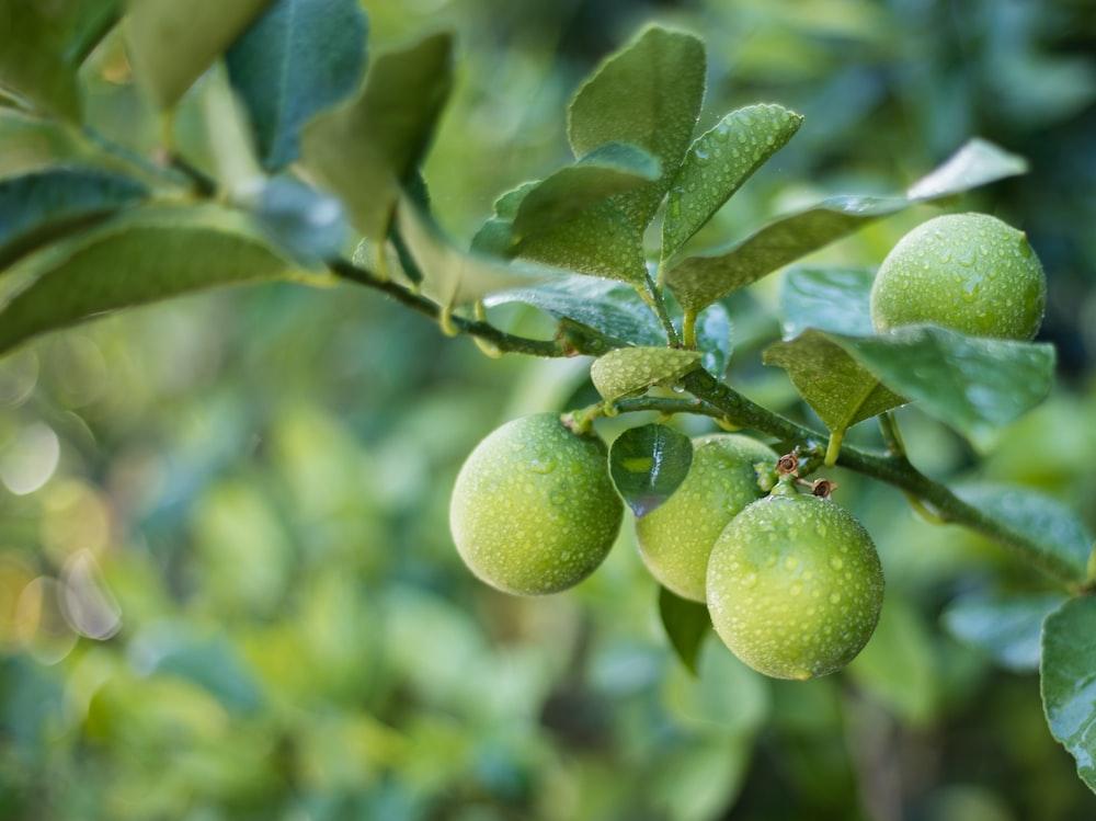 green round fruits in tilt shift lens