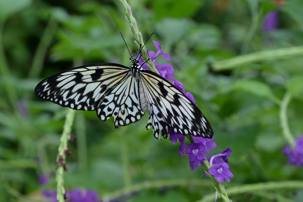 black and white butterfly perched on purple flower in close up photography during daytime