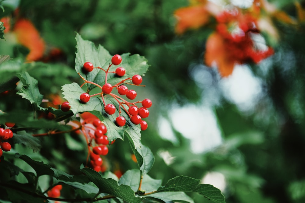 red round fruits on green tree during daytime
