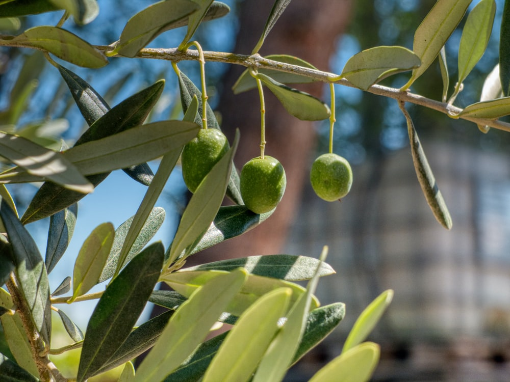 green round fruits on tree during daytime