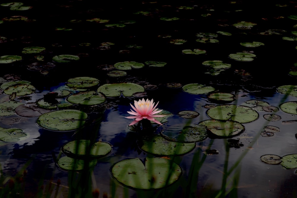 pink water lily on water