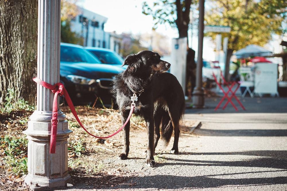 black short coat large dog with leash
