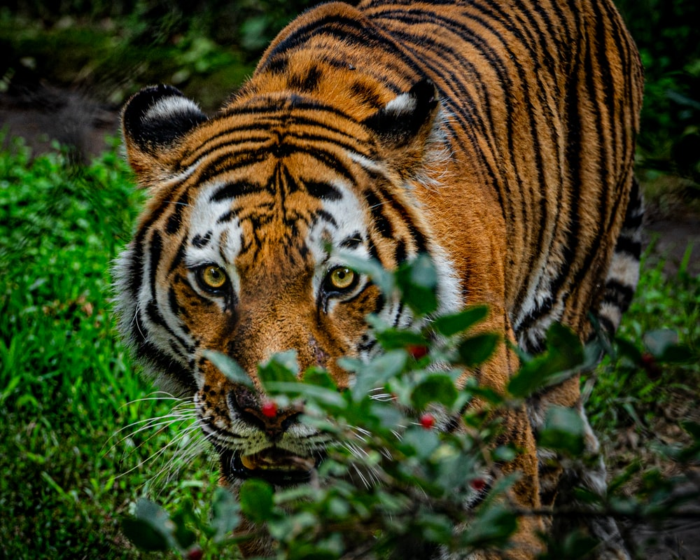 Tiger Eye Pictures Download Free Images On Unsplash