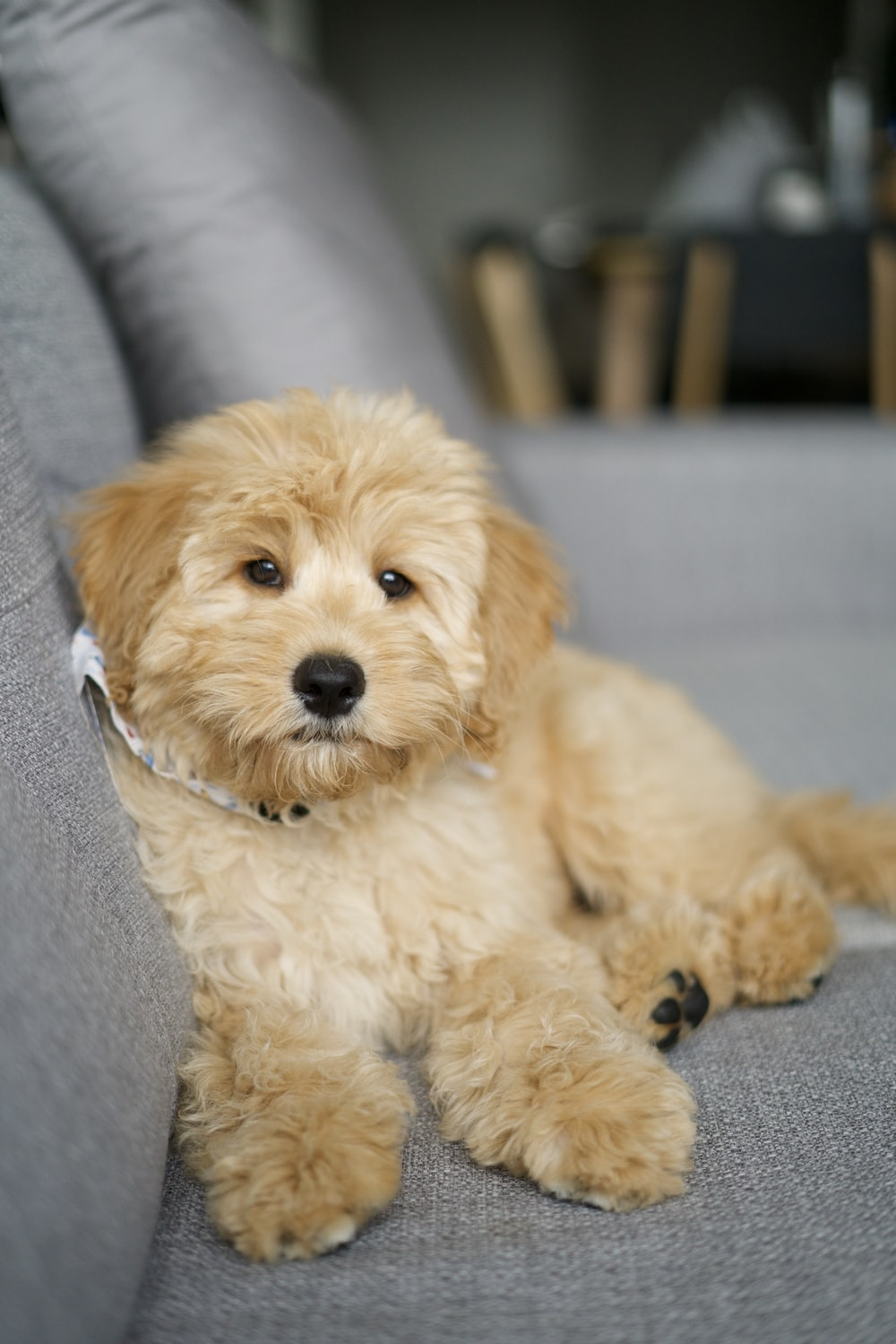 white poodle puppy lying on gray textile