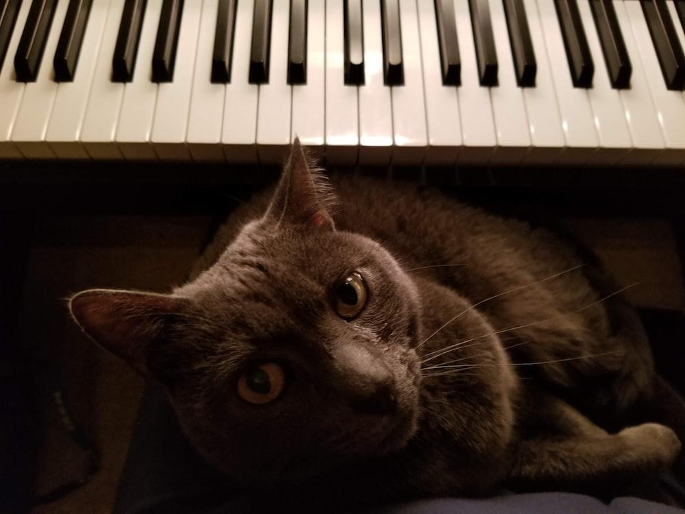 russian blue cat lying on piano