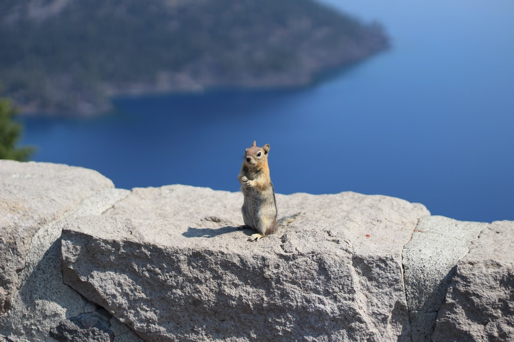 brown and white squirrel on gray rock during daytime